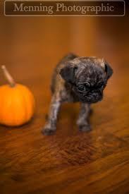 Pug Home Decor Best 25 Small Pug Ideas Only On Pinterest Baby Pugs Pug