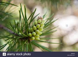 white pine cone baby pine cone buds stock photo royalty free image 139236028 alamy