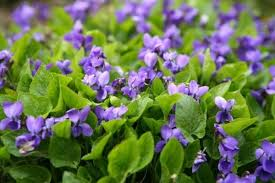 edible blue flowers 21 edible plants with extraordinary health benefits you can