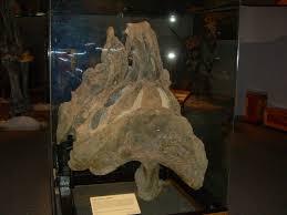 cast of the pelvis of à supersaurus vivianae museum of ancient