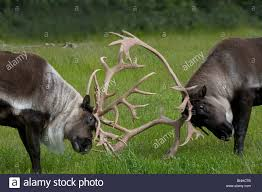 Alaska wild animals images Barren ground caribou rangifer tarandus groenlandicus usa north jpg
