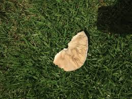 los angeles white lawn mushrooms help me identify mushroom