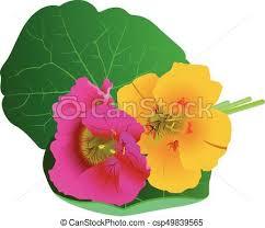 nasturtium flowers nasturtium flowers clip vector search drawings and graphics