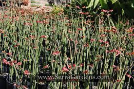 ephedra plant wikipedia pedilanthus bracteatus cacti com