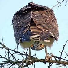 Meme Orly - create meme orly owl pictures meme arsenal com