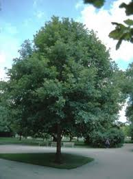 oak trees in omaha and western iowa arbor trees