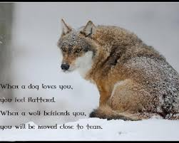Lone Wolf Meme - lone wolf wallpapers group 72