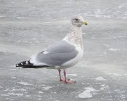 lake superior birding a boy who cried heron