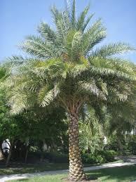 sylvester date palm tree tree saver