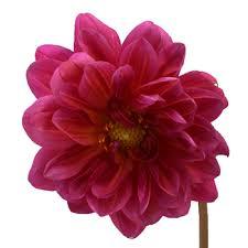 dahlias flowers pink dahlia flowers