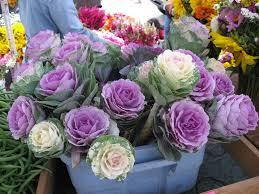 ornamental cabbage cutflower kale mix brassica oleracea 20 seeds