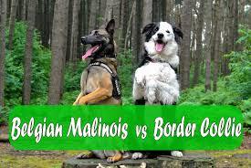 belgian shepherd x border collie belgian malinois vs border collie youtube