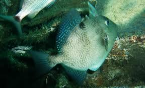 targeting triggerfish florida sportsman