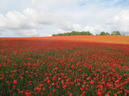 Poppies © David Tyers :: Geograph Britain and Ireland - 3080841_fb7cad2f