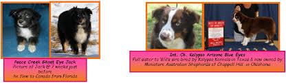 double r australian shepherds canadian breeder of blue eyed tri miniature u0026 toy australian