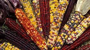 ornamental indian corn www hammonds produce