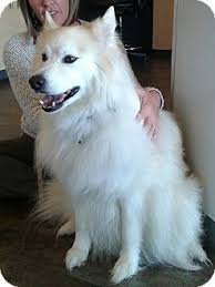 american eskimo dog rescue michigan 10 29 15 st louis mo american eskimo dog samoyed mix meet