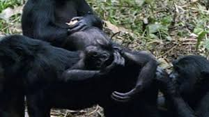 siege social bonobo lowland gorilla national geographic
