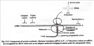 protein synthesis u2013translation with diagram