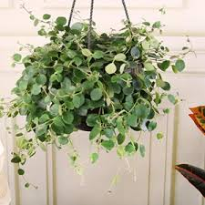 exotic house plans trailing house plants ficus pumilla variegata modernist by