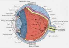 Surface Anatomy Eye Eye Opener Anatomy Eyeball