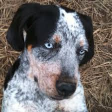 bluetick coonhound with cats 14 best images about the dog on pinterest puppies tans and photos