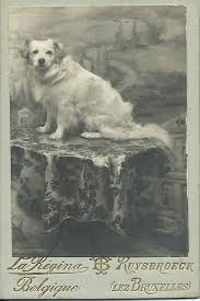 c 1900 cdv of adorable white dog wearing a bow and sitting proudly