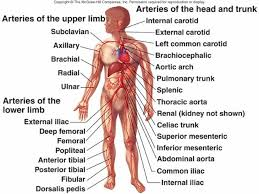 Heart Anatomy Arteries Diagram Of The Heart And Arteries Arteries Diagram Of The Body