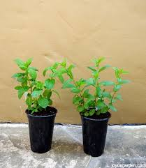 Fragrant Plants For Pots - mint wonderful mint how to care for u0026 plant this fragrant herb