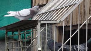 cuisine des pigeons voyageurs la colombe falaisienne pare ses pigeons voyageurs