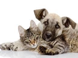 Sho Kucing Anti Jamur penyakit kulit pada anjing kucing serta pencegahannya proplan