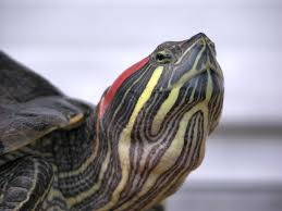 Texas Map Turtle Fish Tank How To Care For Mississippi Map Turtles Closeup Of