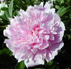 wholesale peonies online wholesale bulk cut peony peonies peoneys assorted flowers