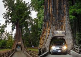 Chandelier Tree California Drive Thru Tree Park California Attractions For And