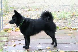 belgian sheepdog diet schipperke info temperament training diet puppies pictures