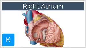 Right Side Human Anatomy Right Atrium Definition Function U0026 Anatomy Human Anatomy