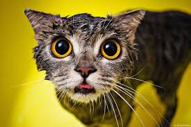 Cat In Bathtub 22 Hilarious Pictures Of Wet Cats Bored Panda
