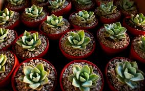 how to propagate succulents farm and dairy