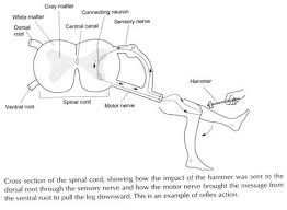Describe A Reflex Action Human Nervous System Function And Types With Diagram