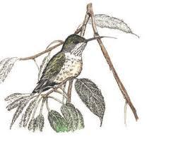 hummingbird sketch etsy