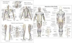 Anatomy The Human Body Anatomical Charts And Posters