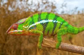 Chameleon Boot Flags Chameleons U0027 Color Changing Secret Revealed