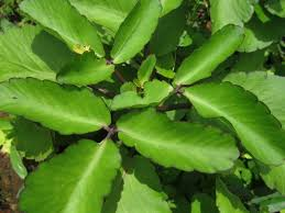 leaves of life four bush medicines to beat that holiday cold