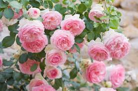Fragrant Rose Plants - rose u0027eden u0027