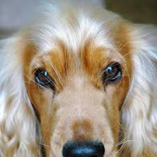 spaniel breeds identification and photos