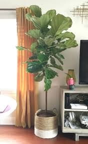 17 best ideas about fiddle leaf fig on fiddle leaf fig