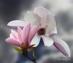 magnolia flowers magnolia flowers photograph by andrew govan dantzler