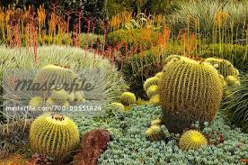 Huntington Botanical Gardens Pasadena by Golden Barrel Cactus Huntington Botanical Gardens Pasadena
