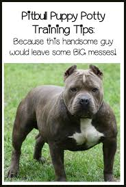 american pitbull terrier in bangalore best 10 pitbull training ideas on pinterest puppy care dog