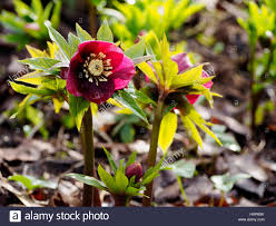hellebore helleborus ashwood garden hybrid